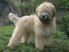 Soft Coated Wheaten Terriers at Barum