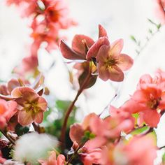 The colors of this quince and hellebore together made me drool. @kateosborne