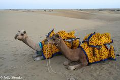 A portrait of two camels. Thar Desert, India. Photo by Jolly Sienda Photography.