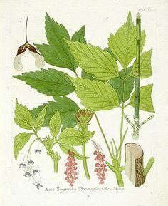 Box Elder Acer negundo|Ferdinand Vietz Botanical Prints 1800