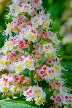 Horse-chestnut Flowers°°