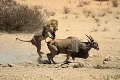 A lion going in for the kill...