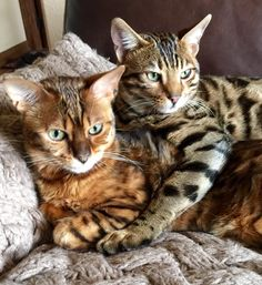 Luna and Nova relaxing. They love cuddling.. Their colors are so different but both are so beautiful. Bengals... SunAndMoonCraftKits