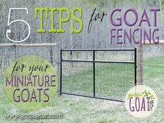 Information for goat fencing is often intended for larger breed goats. See our tips focused specifically on installing fencing for your miniature goats. Raising Farm Animals, Raising Goats, Mini Goats, Baby Goats, Goat Fence, Farm Fence, Farm Barn, Miniature Goats, Miniature Cattle