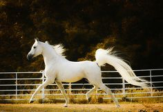 Arabian Horse Photos - Arabian Prince by Ron McGinnis White Arabian Horse, Beautiful Arabian Horses, Most Beautiful Horses, Majestic Horse, Majestic Animals, All The Pretty Horses, White Horses, Animals Beautiful, Horse Photos