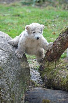 Eisbär-Nachwuchs im Tierpark Hellabrunn - München
