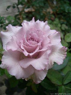 Hybrid Tea Grandiflora Rose: Rosa 'English Perfume' (U.S., 1999)