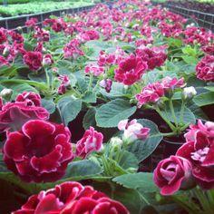 Africans Violets, Sinningia Speciosa, Bloeiend Planten, Bloeiende Planten, Speciosa Gloxinia, Gloxinia Sinninga