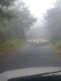 Het was erg mistig vanochtend, dus hét perfecte weer om je #schapen te verweiden.
