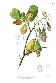 family: anacardiaceae, order: sapindales, eudicots (cashew or sumac family)…