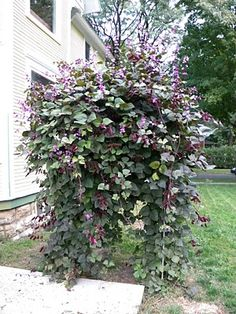 purple hyacinth bean plant....grows really well, fast, attracts butterflies. If there was a spot that needed coverage, bc it does vine.