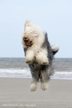 "Bobtails/OES/English Sheepdogs ; ) – such fluffy energy ; )  ""jumping Jane"" at sea (photo by dewollewei/Cees 2014-05-07 via flickr 22858517)"