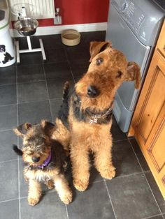 Uncle Archie and niece Bronte- Airedales