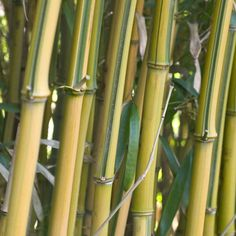 Phyllostachys Aureosulcata Spectabilis is a large variegated bamboo with a combination of rich yellow stems slashed with striped green streaks. This unusual variety will make an impression in the garden all year round with its evergreen foliage