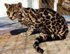 This here is the beautiful indangered margay.  STOP KILLING THEM!!!!!!!!!!!!!!!!!