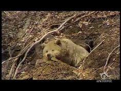 Αρκούδα ξυπνάει από χειμέριο ύπνο