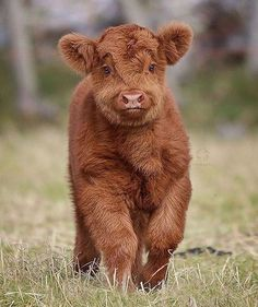 Cute And Funny Pictures Of Baby Animals between Cute Baby Animal Wallpapers Desktop other Funny Dogs Meeting Cute Baby Animals & Cute Animals Baby Cow Pet Cows, Baby Cows, Baby Elephants, Fluffy Cows, Fluffy Animals, Cute Little Animals, Cute Funny Animals, Funny Dogs, Cute Baby Cow
