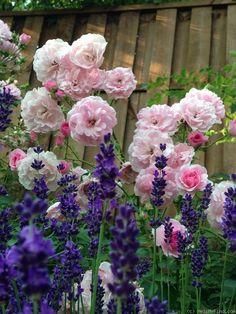 'Bonica ' Rose Photo