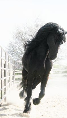 Friesian spirit