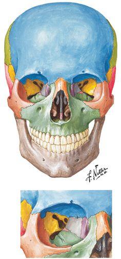 Frank Netter - Illustrator of human anatomy. My bible.