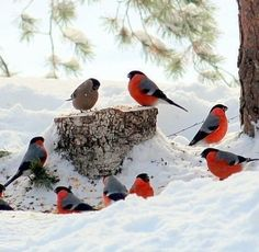 Love Birds, Beautiful Birds, Montreal Botanical Garden, Bullfinch, Wilderness, Animals, Paradise, Winter, Poems