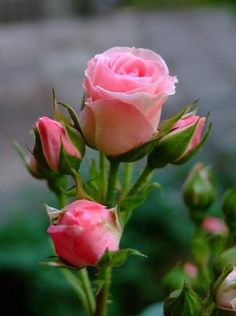 ROSES: rosebuds of pink coral promising so much beauty.