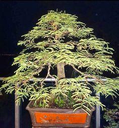 Bonsai | Cuidado de Plantas