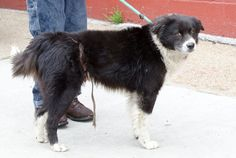 Pazzo the border collie was found gruesomely tortured in St. Louis. Authorities searching for perpetrator.
