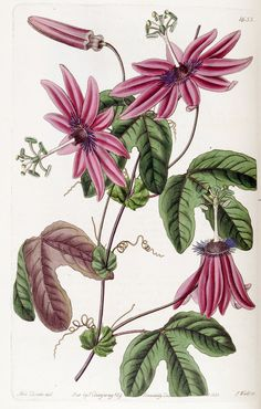 Passiflora kermesina. Four inch flowers with pink petals and bluish-white filaments . They are held outward on long stems. (1835)