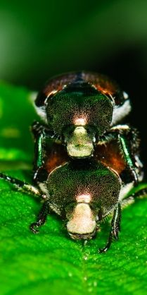 Japanese beetles. These things destroy my mom's garden every year.