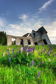 An abandoned farm house surrounded by beautiful lupins, Prince Edward Island, Canada