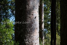 Beautiful NZ Kauri Tree