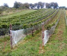 Polish vineyars - Winnica Jakubów