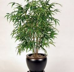 """Best air purifying indoor plants: The Bamboo Palm is a cheap indoor plant that greatly enhances the air quality indoors. The Bamboo Palm is also known as the """"Reed Palm"""" and is a relatively low-maintenance plant that prefers natural rainwater to tap wate Tall Indoor Plants, Indoor Palms, Hanging Plants, Indoor Trees Low Light, Low Light Plants, Indoor Lights, House Tree Plants, Trees To Plant, Grow Lights For Plants"""