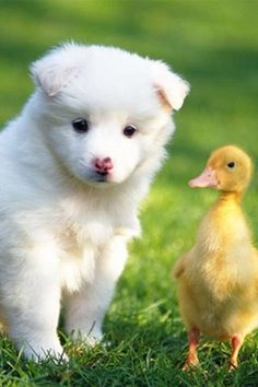 "DUCK: "" Whaddya means weez shouldn't         hang out together?"" PUPPY: "" Now dat I think about it, I guess der's nuthin' wrong wif it."""