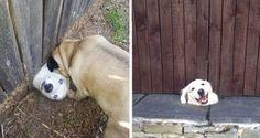 Os cães são seres adoráveis e vez ou outra nos surpreendem com suas diversas atrapalhadas.    Estes,...
