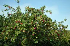 """04.09.2013 """"Tolle Äpfel"""", findet Rolf Sander, der diesen Obstbaum am Grohnder Grillplatz fotografiert hat."""