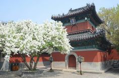 Spring at Zhihua Temple in #Beijing! Find this gorgeous temple in the hutongs south of Galaxy Soho!