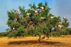 En las copas de los árboles al sur de Marruecos no solo se aprecian pájaros, algunas cabras, protagonistas de #Cienciaalobestia, pueden hábilmente trepar hasta lo más alto en busca de hojas y frutos. Un equipo español de científicos demuestra ahora q