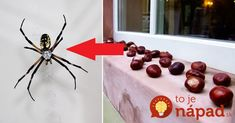 Pavúky našťastie v našich podmienkach nie sú životu nebezpečné, ale povedzme si pravdu, ich spoločnosť je v našich bytoch viac ako nežiadúca. Máme pre vás perfektný a veľmi starý odpudzovač pavúkov, ktorý nám príroda ponúka práve v čase, keď sa potvorky sťahujú do našich bytov. Ide o obyčajné nejedlé gaštany (pagaštan konský)! Počasie sa každý... Spider, Insects, Diy And Crafts, Cleaning, Table Decorations, Detox, Dresses, Gowns, Spiders