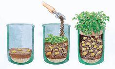 Potato cultivation on balcony and terrace Kartoffelanbau auf Balkon und Terrasse Grow Potatoes In Container, Planting Potatoes, Growing Vegetables, Growing Plants, Growing Onions, Potatoes Growing, Potato Companion Plants, Plant Bags, How To Store Potatoes