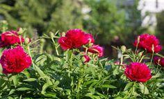 : Пышные пионы в саду