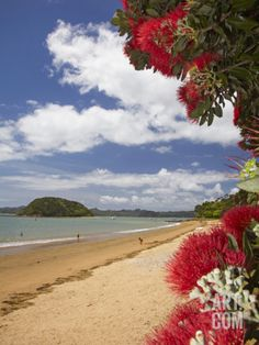 Phutukawa Tree and Beach, Paihia, Bay of Islands, Northland, North Island, New Zealand