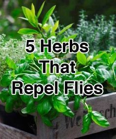 5 Herbs That Repel Flies.Keep these herbs growing in your garden to repel flies.Basil, Bay Leaves, Lavender, Tansy, and Pennyroyal. Vegetable Garden, Garden Plants, Herb Plants, Patio Plants, Organic Gardening, Gardening Tips, Home Remedies, Natural Remedies, Health Remedies