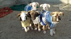 Galgo Puppies in their wee coats - by Cobee Steketee - Scooby Residencia Valladolid - Cute could't possibly describe these precious ones.