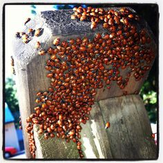 Thats a lot of good luck! LADY BUGS! :)
