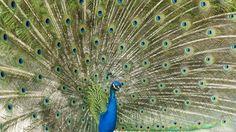 https://flic.kr/p/HsW36n | Blauer Pfau | Der Blaue Pfau (Pavo cristatus) ist eine Vogelart aus der Familie der Fasanenartigen (Phasianidae). Er gehört zur Ordnung der Hühnervögel und ist neben dem Fasan und dem Haushuhn einer der bekanntesten Vertreter dieser Vogelgruppe.  Aufgrund ihres auffälligen Aussehens gelten vor allem die Männchen als die ältesten Ziervögel der Menschen. Bereits in den Sagen der griechischen Antike wurden sie erwähnt. Als standorttreue Vögel werden die ursprünglich…