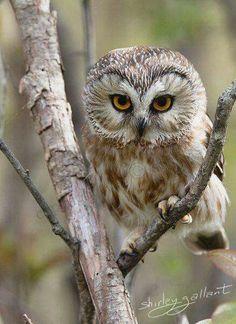 Owl Cute Wildlife Photo by SonnysPics Beautiful Owl, Animals Beautiful, Cute Animals, Wild Animals, Owl Photos, Owl Pictures, Saw Whet Owl, Owl Bird, Tier Fotos