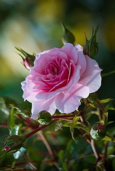 "thelordismylightandmysalvation: ""Perfect Pink Rose """