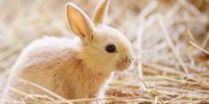 Mini Lop, Rabbit, Animals, Giant Rabbit, Rabbit Breeds, Dwarf Rabbit, Cute Dogs And Puppies, Kittens, Old Fashioned Toys